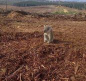 Melancholic Koala Bear