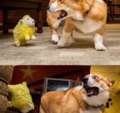 Corgi Doesn't Like Yellow Sheep