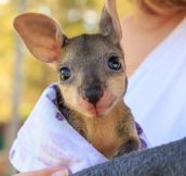 Joey, The Baby Wallaby