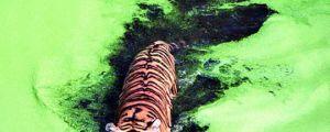 Tiger Crossing A Green Lake