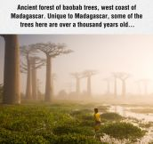 Ancient Forest Of Baobab Trees