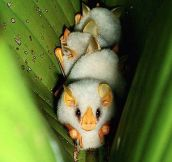 Little Albino Bats Sleeping
