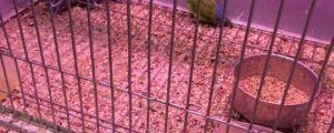 Rorschach The Lovebird