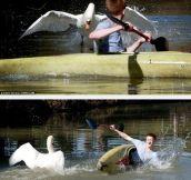 Meet Tyson The Swan