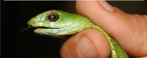 Boomslang AKA The Nope Snake Found In Nopetown, Africa