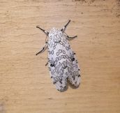 Black And White Moth