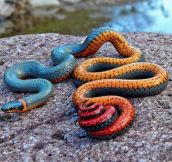 The Colors Of The Ring Snake Are Awesome