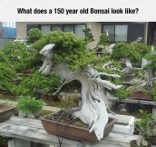 Ancient Bonsai Tree