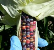 Colorful Corn Grains