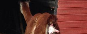 Goat Baby Is Born