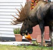 Classic Moose