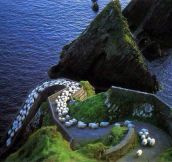 Sheep Highway In Ireland