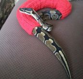 Very Warm Snake