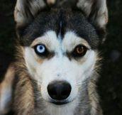 The Most Beautiful Husky