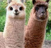 Who Said Alpacas Can't Be Cute?