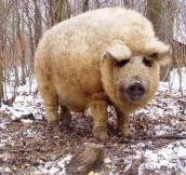 The Mangalitsa Pig That Resembles Sheep