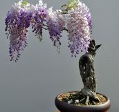 Beautiful Bonsai Wisteria