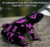 The Costa Rican Variable Harlequin Toad