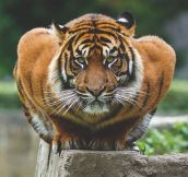Crouching Tiger, Just A Big Kitty