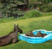 Twin Moose Calves In Kiddie Pool
