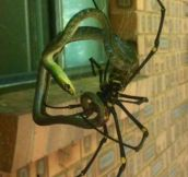 Banana Spider Eating A Snake