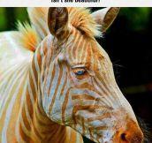 Gorgeous Golden Zebra
