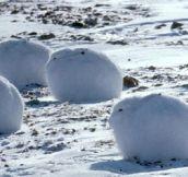 Snug Arctic Bunnies