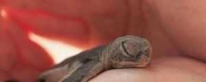 The Cutest Baby Turtle