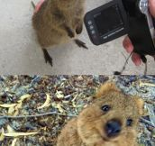 Quokkas Are So Friendly