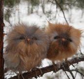 Fluffy Baby Owls