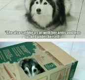 Husky Raised By Cats