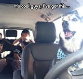 Husky Taking The Kids To School