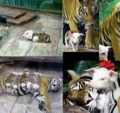 Tiger Adopts Baby Pigs
