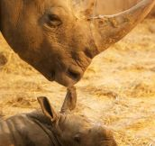 That's One Proud Looking Rhino Mom