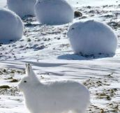 The Arctic Hare Looks Like A Cross Between A Dog And A Bunny