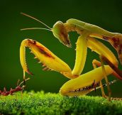 Praying Mantis Meets Ant
