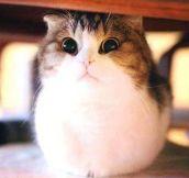 Puffy Fluffy Cat