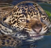 Surface Tension Tiger
