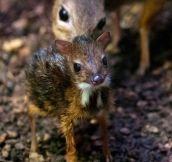This Is A One Day Old Mouse Deer