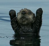 You Otter Surrender