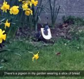 That Pigeon Has Swag
