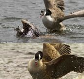 Beware Of Canadian Geese