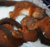 Sleepy Baby Squirrels