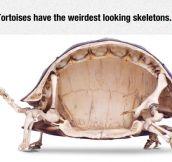 Tortoise Skeleton