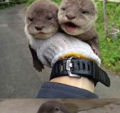 Tiny Baby Otters.