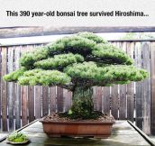Very Old Bonsai Tree