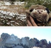 The Traveling Hedgehog