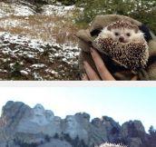 The Traveling Hedgehog