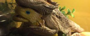 Bearded Dragon Finds A Friend