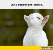 The Greatest Picture Of A Goat I've Ever Seen